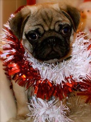Ruuicha hey Bert as a puppy