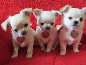 puppys 7 weeks
