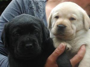 Puppies 5 weeks
