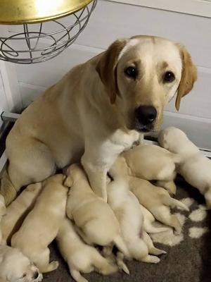 Puppies 2wks old