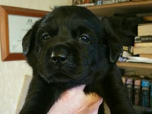 Puppy sired by Callen