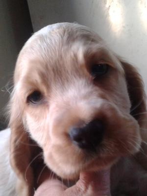 Orange dog puppy