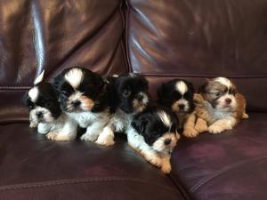 Lola's puppies