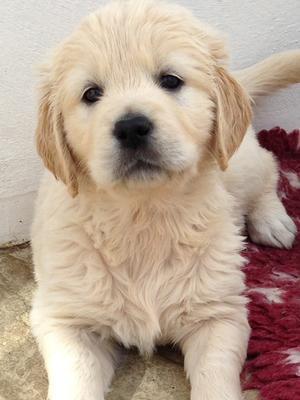 Typical 'Thornywait' puppy