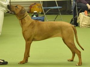 Gertrude aged 11 mnths winning a large puppy class