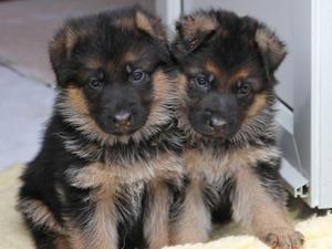Two of Klaus and Xambi's pups at 5 weeks