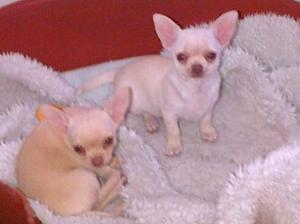 Puppies at 11 weeks