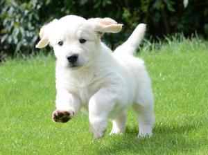 A Standelbec puppy