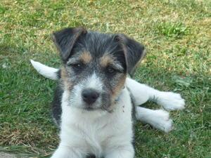 Dog pup at 8 weeks