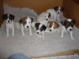 Digaden Puppies