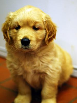 Golden retriever breeders devon