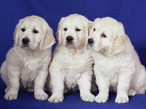 Nosam Puppies
