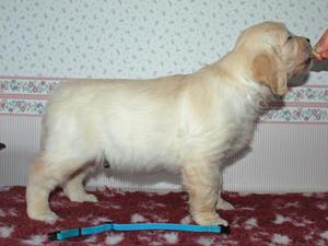 Boy Pup at 7 Weeks