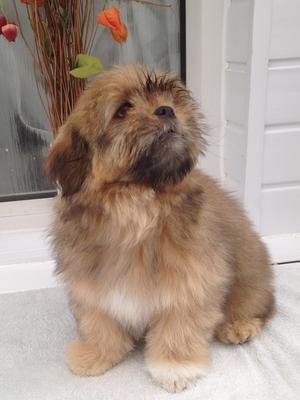 Stunning Boy Puppy 14 wks