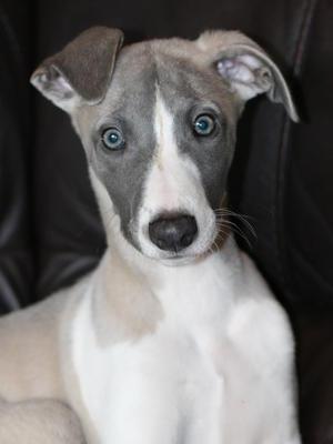 Puppy Oliver