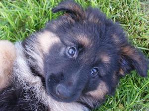 pups 7 weeks old