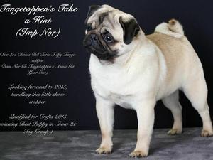 Our new boy, winning Best Puppy in Show!