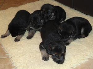Puppies at three weeks