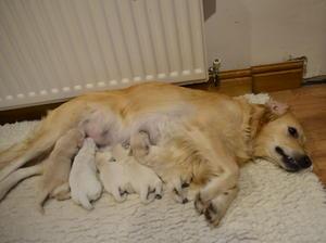 Sasha with pups