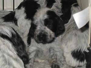 Puppies at 4 1/2 wks