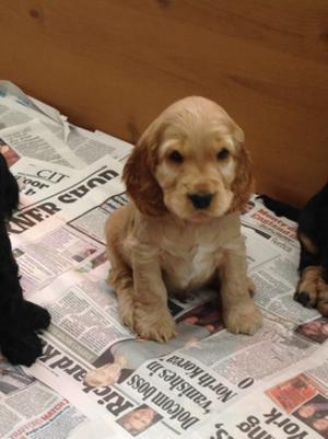 Golden puppy from a previous litter