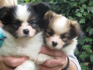 Jorgealin puppies Spike and Luna