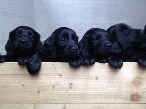 6 week old pups