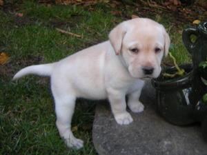 female pup 5 weeks old