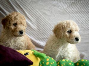 Golden girl pup