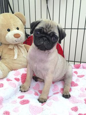 Puppy bitch @ 9 weeks old