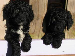 Novaforesta Puppies