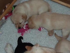 Rosie's puppies