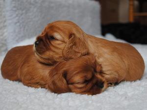 Ruby Bitch pups
