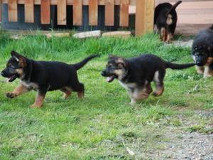 kara's puppies 6 weeks old