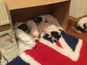 pointer puppies