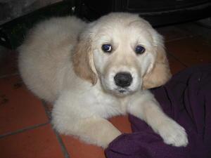 Boo as a puppy