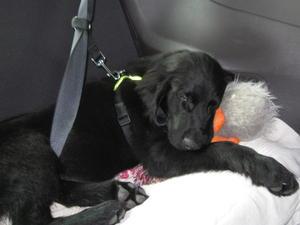 Stanley (Puppy)