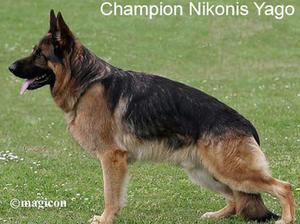 Ch Nikonis Yago ( Yasmin's sire)