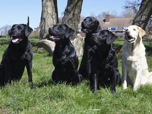 The Dabchick Labradors