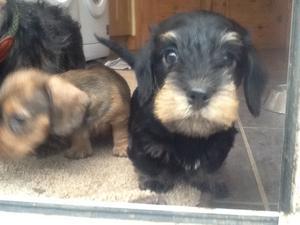 Louis pup black n tan