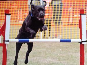 FARLEY doing agility