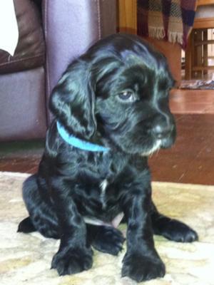 Puppies 6 weeks
