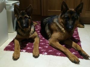 Previous bred ARLANDOHY pups isha and Isla