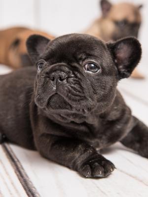 Puppy Girls 6 week