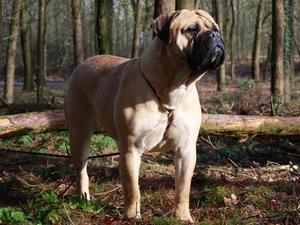 list of giant dog breeds extra large dog breeds huge