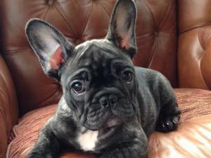 Typical Nerroli French Bulldog