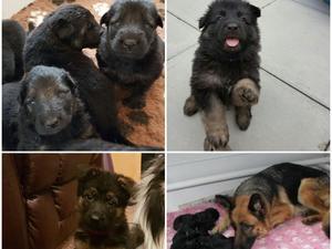 Kazaura Puppies