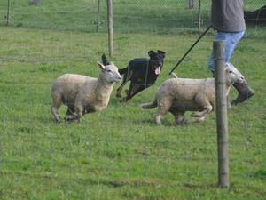 Sheep Herding seminar - Belgium Sept 2015