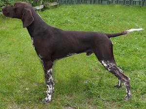 Most Loving Dog Breeds Gsp