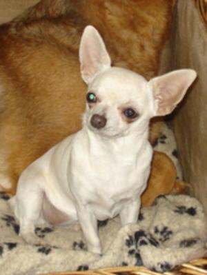 My Beautiful Chihuahua